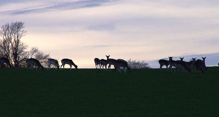 Pictures from the UK Took this the other night.  A herd of about 80 Fallow deer going home to the woods.  Note the young buck on the left of centre.  No old guys at the moment - I think that someone has taken them out.